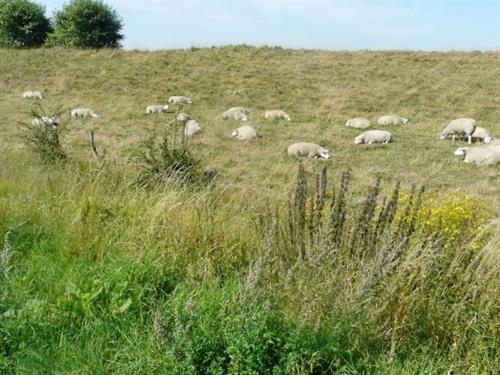Het talud kan je laten begrazen door schapen.